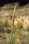 Poaceae - Ammophila arenaria