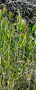 Poaceae - Bromus rubens