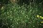 Poaceae - Briza maxima