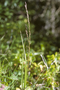 Poaceae - Ehrharta calycina