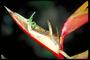 Heliconiaceae - Heliconia bihai 'Chocolate'