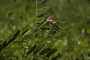 Fabaceae - Vicia sativa subsp. nigra