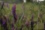 Fabaceae - Vicia villosa subsp. varia