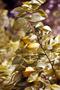 Oxalidaceae - Averrhoa carambola