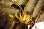 Annonaceae - Cananga odorata