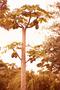 Caricaceae - Carica papaya