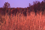 Poaceae - Andropogon virginicus
