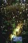 Poaceae - Bambusa multiplex