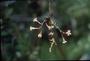 Caryophyllaceae - Silene struthioloides
