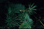 Campanulaceae - Lobelia grayana