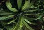 Campanulaceae - Cyanea macrostegia