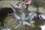 Apocynaceae - Ochrosia compta