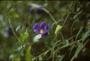 Acanthaceae - Thunbergia erecta