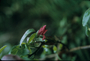 Geraniaceae - Geranium arboreum