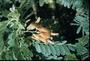 Fabaceae - Sesbania tomentosa