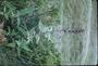 Lamiaceae - Lepechinia hastata