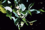 Malvaceae - Abutilon sandwicense