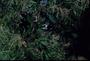Primulaceae - Myrsine lanaiensis
