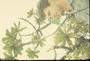 Primulaceae - Myrsine lessertiana