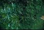 Pittosporaceae - Pittosporum glabrum