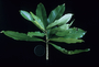 Violaceae - Isodendrion longifolium