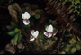 Violaceae - Viola maviensis