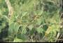 Rutaceae - Zanthoxylum oahuense