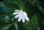 Rubiaceae - Gardenia taitensis