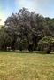 Bignoniaceae - Jacaranda mimosifolia