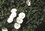 Convolvulaceae - Convolvulus arvensis