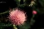 Asteraceae - Cirsium vulgare