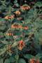 Lamiaceae - Leonotis nepetifolia