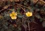 Zygophyllaceae - Tribulus cistoides