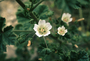 Malvaceae - Malva neglecta