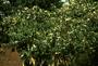 Rubiaceae - Coffea arabica