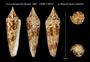 Image of Conus bengalensis