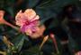 Nyctaginaceae - Mirabilis jalapa