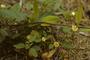 Malvaceae - Sida spinosa