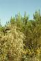 Asteraceae - Eupatorium capillifolium