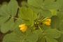 Fabaceae - Senna obtusifolia