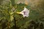 Solanaceae - Datura stramonium