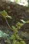 Asteraceae - Xanthium strumarium var. glabratum