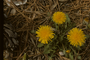 Asteraceae - Taraxacum officinale