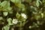 Caryophyllaceae - Stellaria media