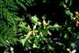 Euphorbiaceae - Euphorbia heterophylla