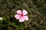 Apocynaceae - Catharanthus roseus