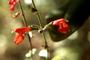 Lamiaceae - Salvia coccinea