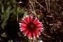 Asteraceae - Gaillardia pulchella