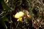Fabaceae - Crotalaria spectabilis