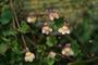 Plantaginaceae - Cymbalaria muralis